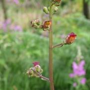 Common Figwort1