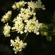 Cow Parsley1