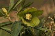 Green Hellebore13