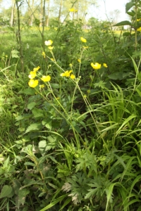 Palmate leaves of Meadow buttercup