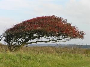 Wind blown Hawthorn