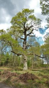 Magnificent Oak Tree