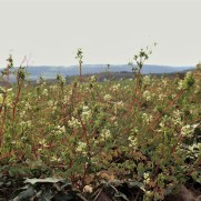 Climbing Corydalis2