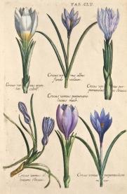 valentini-crocus-vernus_1