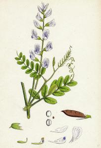 Wood Vetch
