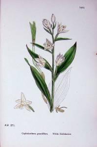 White Helleborine