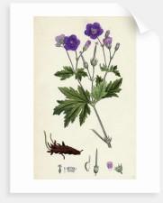 Print of Wood Cranesbill