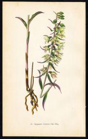 Violet Helleborine print