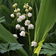Lilly of the valley2