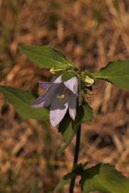 Nettle leaved Bell flower