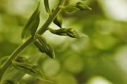 Green Flowered Helleborine3