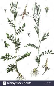 cardamine-impatiens-narrow-leaved-bittercress-rechts-cardamine-parviflora-E5CTK8