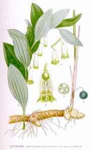 Polygonatum_odoratum