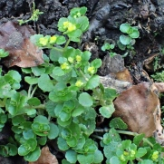 Opposite Leaved Saxifrage